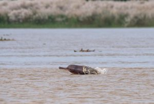 Ganga river dolphin, West Bengal. Image by: Nilanjan Chatterjee/Alamy