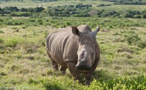 Rhino standing in grassland in South Africa. China has been seizing rhino horns illegally