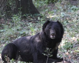 Black bear in Dachigam National Park, Kashmir (Credit Nazir Mir)