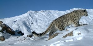 A snow leopard in the Indian Himalayas (Image by Nature Conservation Foundation / Snow Leopard Trust)
