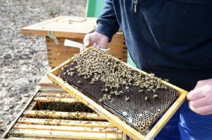 A beekeeper showing a honeycomb full of next to his beehives.  © Greenpeace / Georg Mayer