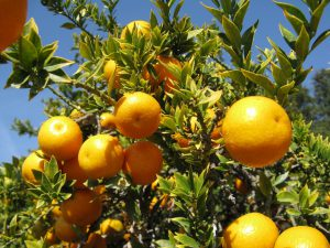 Citrus trees [image by Nadiatalent]