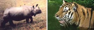 A one-horned rhino in the grasslands of Orang (left) and a tiger in its wetlands [Images by Forest Department, Government of Assam]