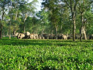 Wild elephants in tea plantation (Photos: Apeejay tea garden)