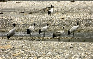 Black-necked cranes on the Naymjang Chu riverbed near Zemithang village of Pangchen valley in Tawang district. [image by Lham Tsering]