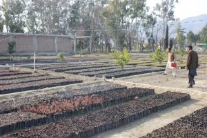 Chir pine and Kachnar saplings being readied for plantation in the Haripur nursery as part of KPK's 'billion tree tsunami' [image by Asim Ali]