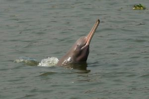 The Ganges dolphin [Image by WCS Bangladesh Program]