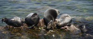 The Baikal seal is found nowhere else on Earth [image by Sergey Gabdurakhmanov]