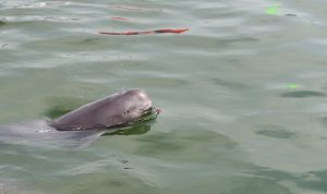 A finless porpose is moved to Hewangmiao nature reserve on the Yangtze River in Hubei province, China. [Image by: Xinhua/Alamy]