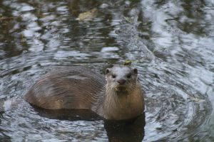 The smooth coated otter is one of the many threatened species in a polluted Ganga [image by WWF-India]