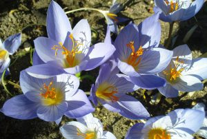 Saffron flowers in bloom [image by Sarah Adams]