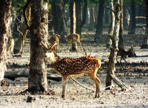 Spotted deer in the Sundarbans [image by gordontour/Flickr]