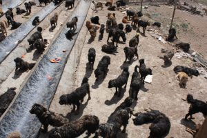 Overcrowded and underfunded: A shelter for stray dogs in Maozhuang in Yushu on the Tibetan plateau [image by: Wang Yan]