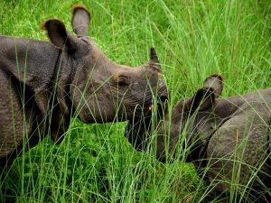 two rhinoceros in the grass. Photo Credit WWF Nepal (2)