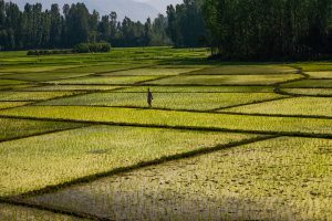 The use of standing water to grow rice in India and Pakistan leads to large water loss [image by sandeepachethan/Flickr]