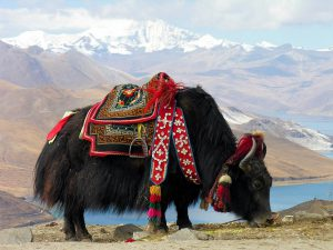 A yak at Yundrok Yumtso Lake on the Tibetan plateau [image by: Dennis Jarvis]