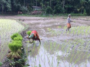 Women work in paddy fields in Assam after monsoon flood waters had abated. [image: Azera Rahman]