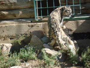 Photo of Alcu at the snow leopard rehabilitation centre, Issyk-Kul [image by: Juhi Chaudhary]
