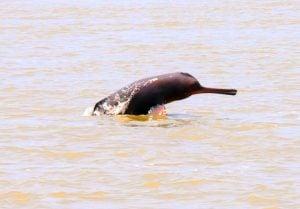 Ganga dolphin