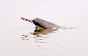 A dolphin surfacing in the Ganga [image by: Mohd Imran Khan]