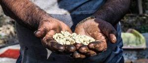 A Nepali farmer holds locally grown coffee beans in his hands [image by: Abhaya Raj Joshi]