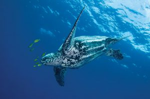 Almost all sea turtle species are endangered and cross border collaboration is needed to stop their further decline (Photo: WWF)