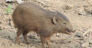 Pygmy hog at a breeding centre in Assam. image source: A. J. T. Johnsingh, WWF-India and NCF/Wikimedia Commons [Licensed unser CC BY 3.0]