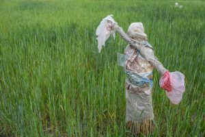 A scarecrow made up of plastic in a wheat field in Gokarna near Bagmati River in Kathmandu Valley [image by: Nabin Baral]