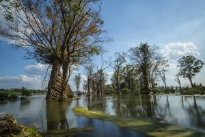 Trees growing in the Mekong River in Stung Treng of Cambodia [image by: Sokratana Hou/MRC]