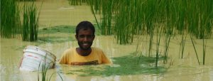 Finding happiness in conserving indigenous varieties of rice [image by: Abhra Chakroborty]