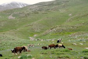 Only a little grass and a few animals grazing near the Deosai National Park [image by: Amar Guriro]