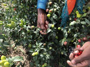 women farming on chilli farms in Pakistan [image by: Zofeen T. Ebrahim]
