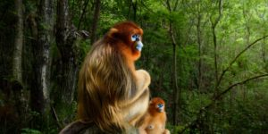 Golden snub-nosed monkeys in the Qinling mountains of China. Marsel van Oosten, Grand Title Winner 2018, Animal Portraits