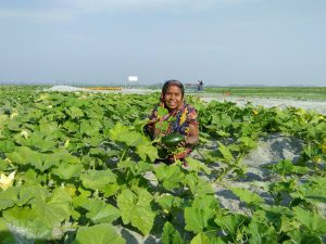 Pumpkin farming on charlands has brought people out of poverty in Bangladesh [image by: Farhana Parvin]