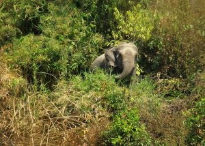 An Asian elephant in Cox's Bazar [Image by: Syedabbas321/commons.wikimedia CC BY-SA 4.0]