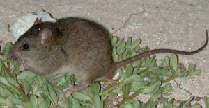 The Bramble Cay melomys has officially been declared extinct [image by: State of Queensland, CC BY 3.0 au / Wikicommons]