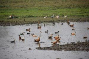 Ducks and Geese in a Brahmaputra wetland in Kaziranga
