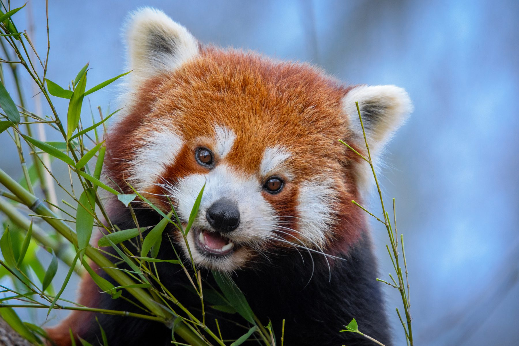 A red panda (Image: Mathias Appel)