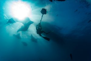 Film crew scuba divers photograph several  giant manta rays [image by: Pete Niesen]