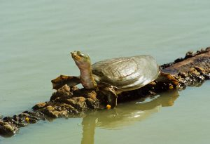Indian flapshell turtle (Lissemys punctata). Image source:  Dominic Robinson / Alamy