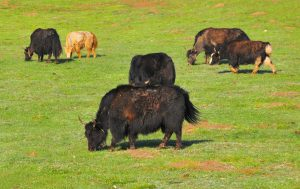 Yaks are central to the cultural identity of Tibetans [image by: Michael Wong/Flickr]