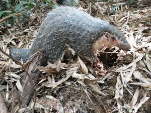 Pangolins are the most trafficked creatures in the world, valued for their meat and their supposed medical properties [image by: Wang Yan]