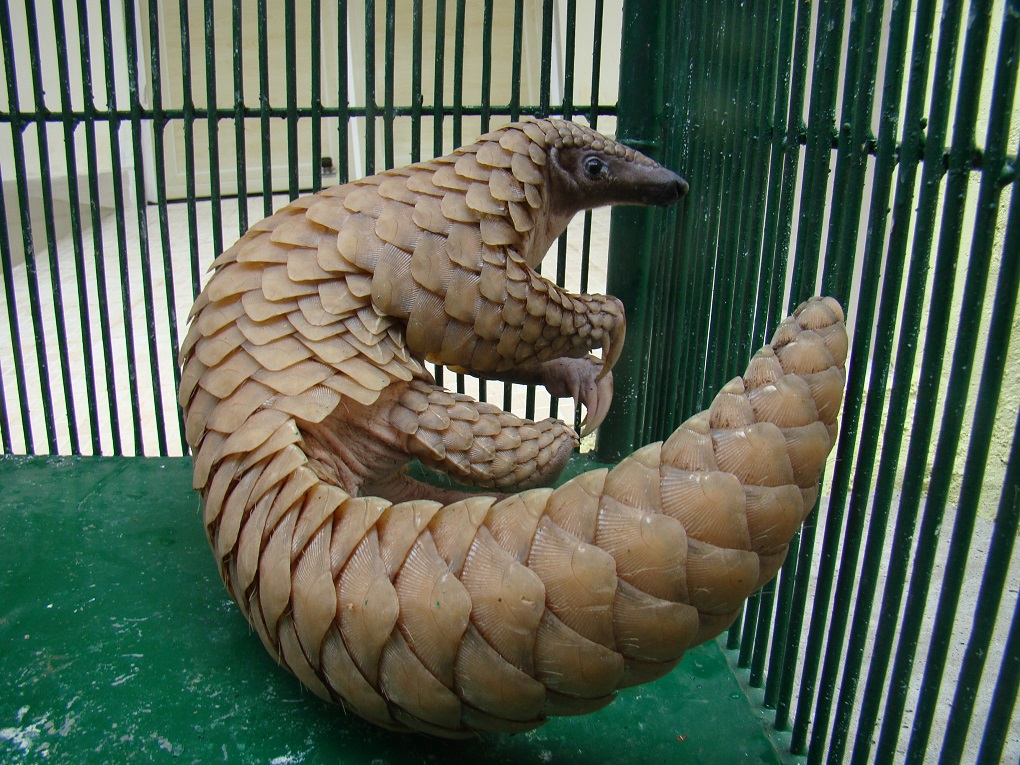Pangolin in a cage. The pangolin is the most trafficked species on the planet [image by: Sandeep Kumar]