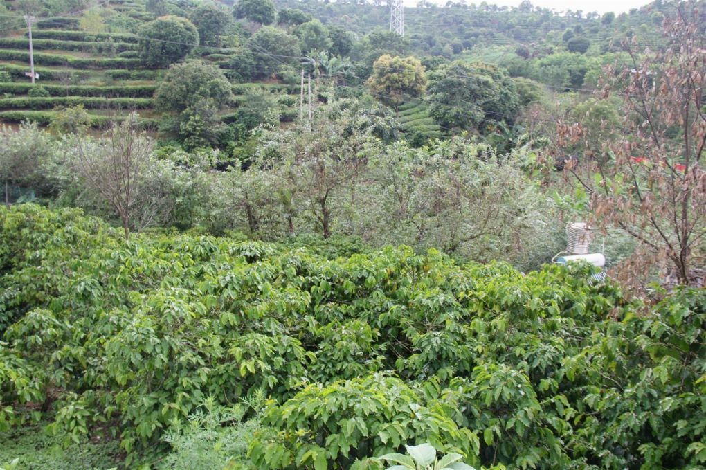 Sun-grown coffee plants in the mountains of Pu'er, Yunnan province, China