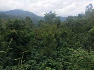 Sustainable, shade-grown coffee in Ai Ni Coffee Farm, Yunnan, China [image: Karoline Kan / China Dialogue]