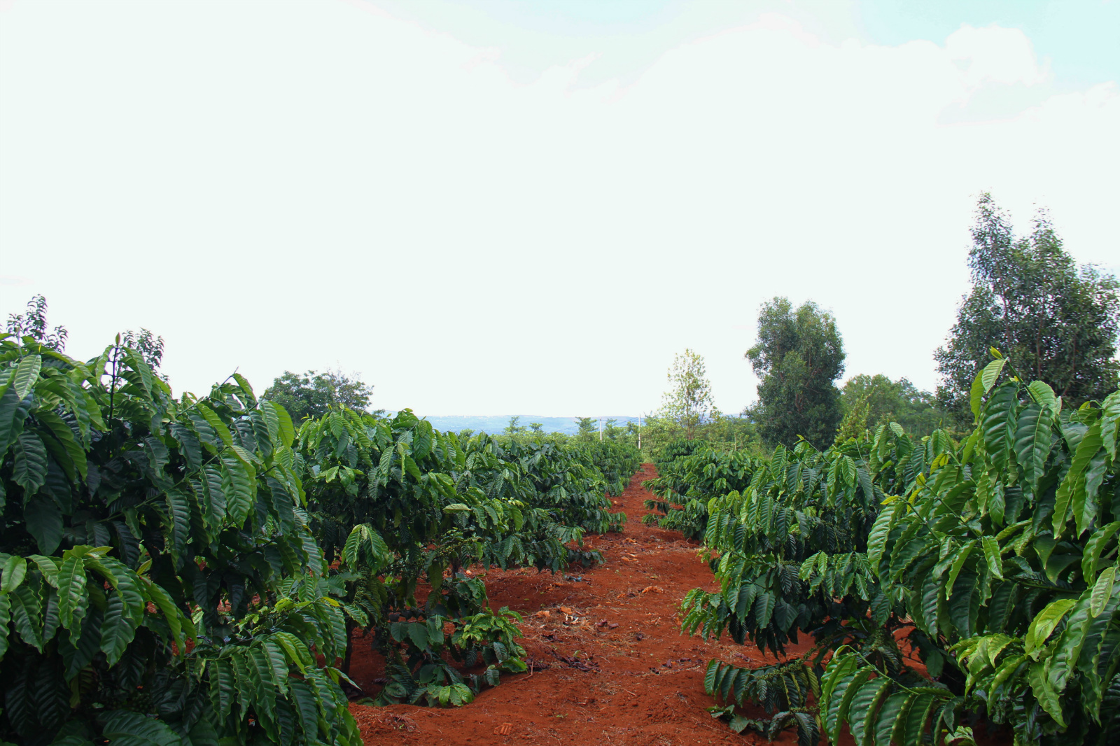 Coffee plants grown in the direct sun in a village near Buon Ma Thuot, central highlands, Vietnam