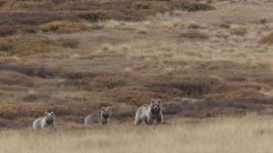 three brown bears in Himalayas