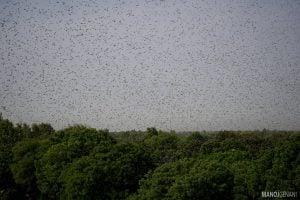 Hordes of locusts have darkened the skies in Sindh [image by: Manoj Genani]
