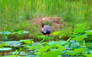 A Sarus stands before its freshly laid egg in Lumbini, Nepal [image by: Manoj Paudel]