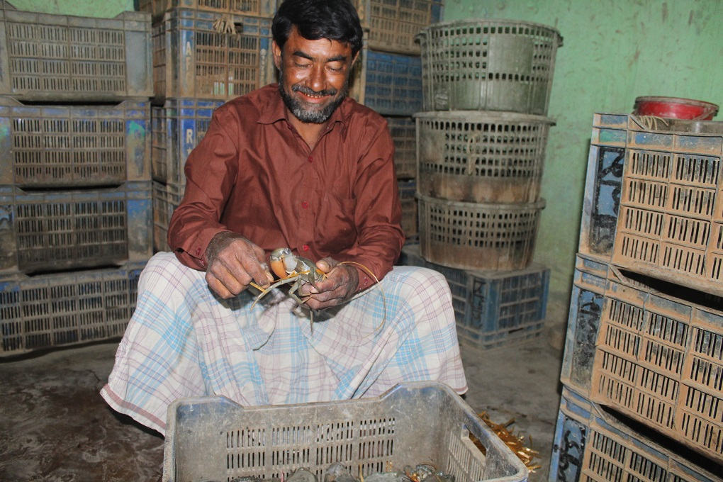Md Selim, an exporter, is processing a fully grown crab [image by: Banani Mallick]